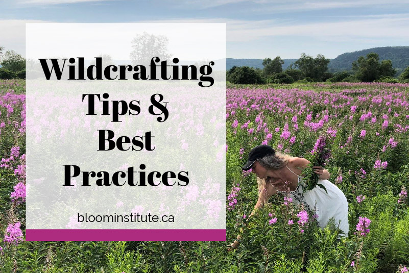 Savayda wildcrafting fireweed in a meadow. | Bloom Institute